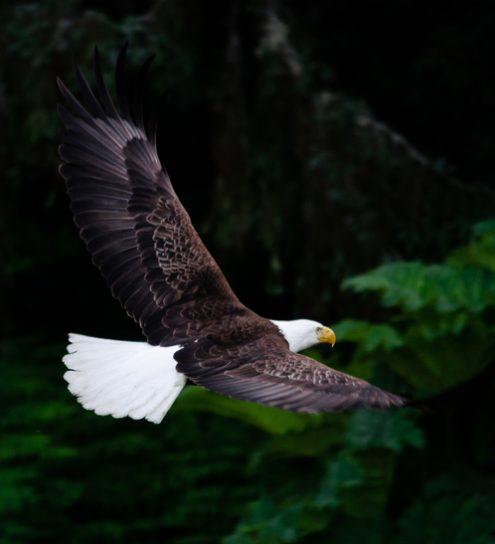 Eagle Tofino BC